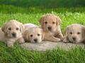 哪里可以买世界名狗--到山东潍坊时代犬舍图片