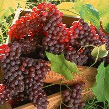 葡萄籽提取物的功效与作用原花青素95%厂家直供