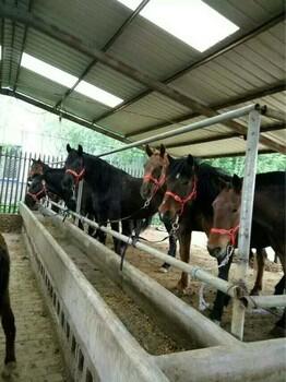 出售骑乘马和精品矮马试骑满意再选购