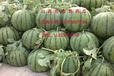 山西曹張40萬畝西瓜已上市皮薄瓜甜個大接各地批發