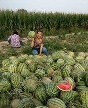 忻州萬畝沙地西瓜產地圖片