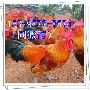 华县鸡苗价钱出售九斤黄图片