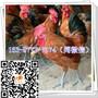 潼关鸡苗价钱养殖基地红羽图片