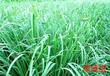 厂家供应香茅油柠檬草油由植物柠檬草蒸馏所得精油