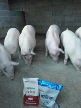 猪快速增肥剂大猪专用催肥添加剂生猪催肥王