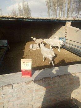 牛羊专用白金肽甘肃兰州4