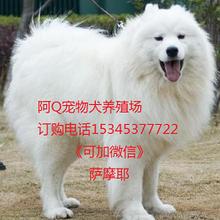 湖北有卖萨摩耶犬的吗图片