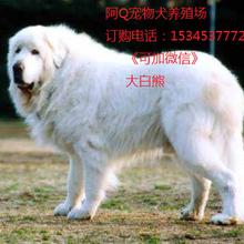 大白熊犬特點圖片