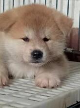 秋田犬幼犬出售秋田犬多少錢一只圖片