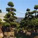 佛山陈村花卉世界供应12-28公分造型罗汉松
