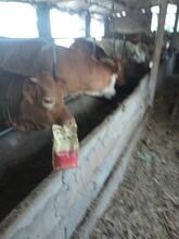 牛羊催肥王牛催肥劑牛羊催肥偏方牛羊后期增重快圖片