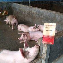 夏季肥猪吃啥上的快猪催肥有哪些好方法图片