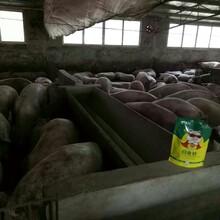 養豬快速催肥方法怎樣養豬長得快豬催肥添加劑圖片