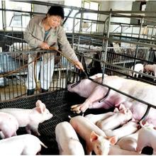 河北仔猪生长剂猪如何催肥图片