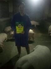 广西猪催肥生猪怎么催肥长的快图片