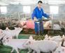 湖南小猪拉稀腹泻最简单的治疗方法僵猪怎样让它长的快