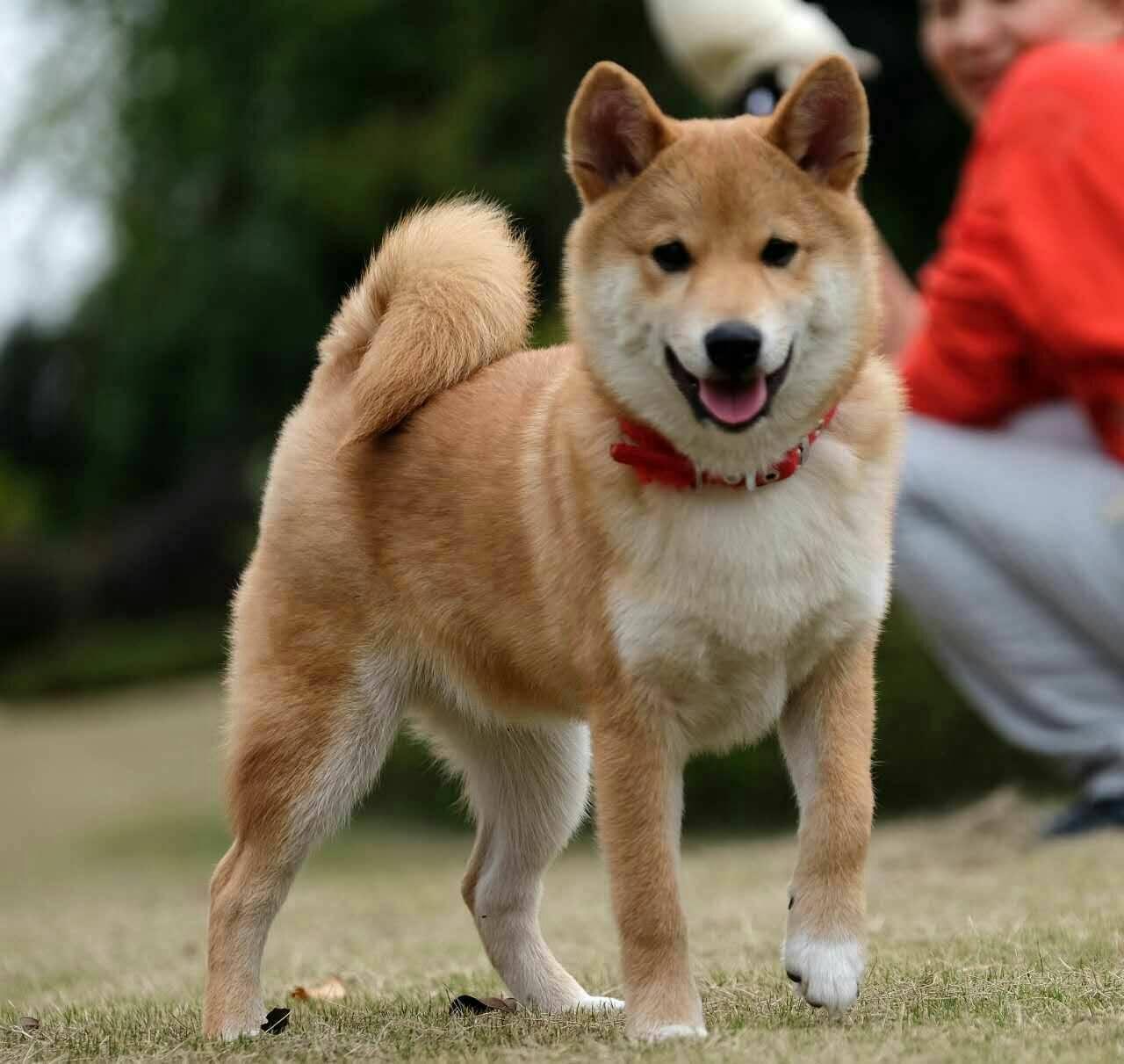 柴犬wink表情表情动态包揍求图片