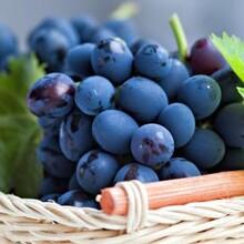葡萄树苗的种植方法