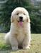 长沙哪里有金毛犬出售长沙金毛犬多少钱
