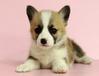 长沙哪里有柯基犬出售长沙纯种柯基犬多少钱长沙柯基犬最便宜多少钱