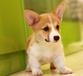 长沙哪里有金毛犬出售长沙金毛犬照片长沙金毛犬好养长沙金毛犬多少钱