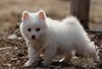 长沙哪里有银狐出售长沙银狐照片长沙银狐好养长沙银狐多少钱