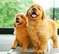 长沙哪里有正规犬舍长沙金毛照片长沙金毛多少钱