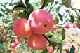 长期供应沂源红苹果