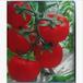 大量供应优质大棚专用粉果番茄种子