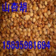 山杏胡價格,山杏胡哪里有,山杏種子批發,山西山杏胡山杏種子報價圖片
