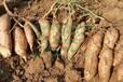 霍林郭勒秦薯7号红薯多少钱鄂尔多斯秦薯7号红薯品种