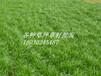 深圳草籽新建高速公路铁路护坡草种灌木绿化