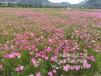 泉州花海景观用什么花卉种子