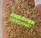 供应四川甘孜国道绿化护坡披碱草草籽