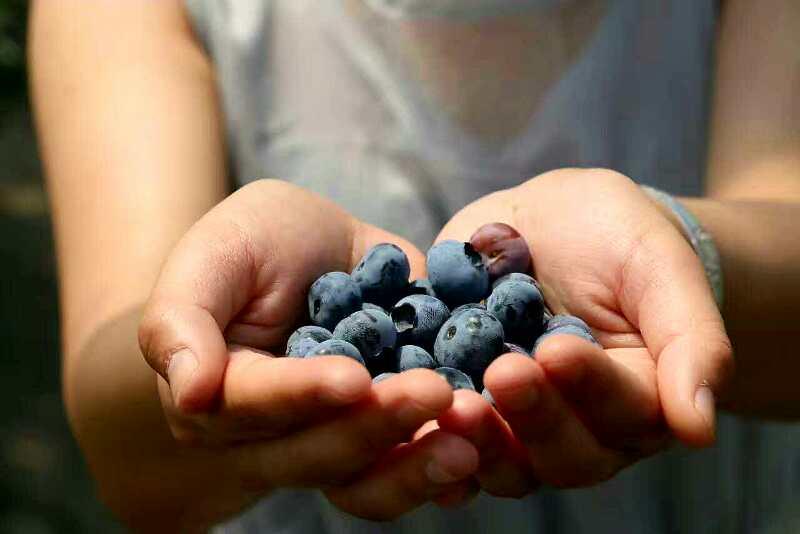 百畝有機藍莓,無限供應,此廣告常年有效