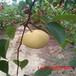 梨苗品种推荐优质梨树苗