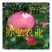 珊夏苹果苗品种推荐