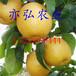 晚秋黃梨樹苗優質果苗推薦