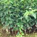 晚秋黃梨樹苗優質種苗