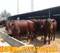 博爾塔拉購買牛犢7一8個月的牛犢多少錢