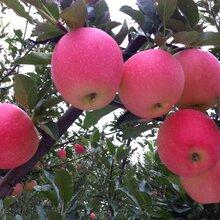 求购苹果鸭梨图片
