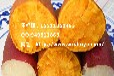 四川红薯品种宜宾徐薯18苗合作社