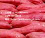 商薯19苏薯八号(黄皮)江西红薯批发,丰城红薯种苗多少钱