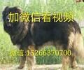 宠物犬猎犬护卫犬大体犬
