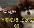 灰桃阿拉,黑十字红十字哪个好黑桃阿拉幼犬阿拉斯加最新价格