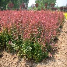 山东供应红叶小檗绿化苗木供应工厂绿化苗木红叶小波