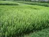 小区常用植物一手供应灌木地被杯苗宿根时令花卉