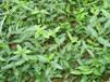 小区常见绿化苗木纯一手供应灌木地棵杯苗