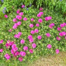 山东草花种植基地组摆花卉