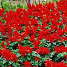 青州草花批發采購青州時令草花價格青州花卉價格